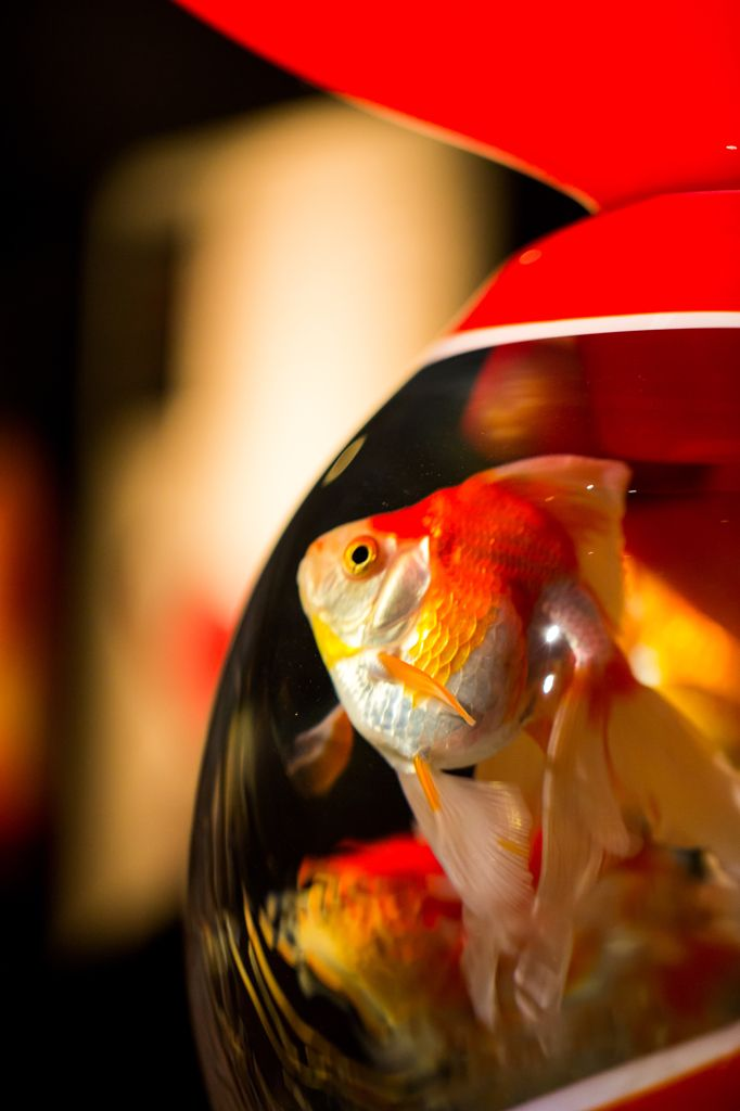 Fantail goldfish looks outside bowl. Japanese goldfish, Kingyo 金魚