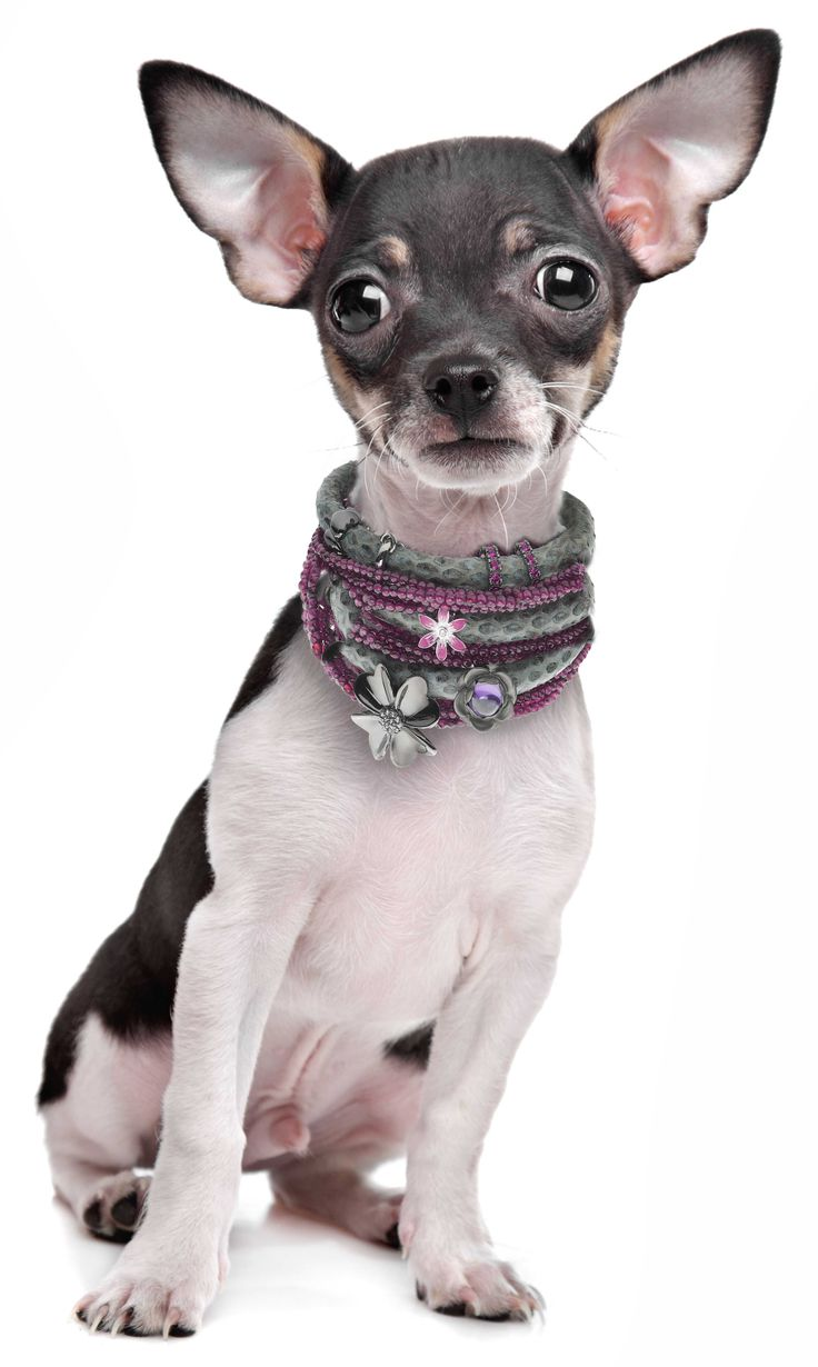 Our adorable Chihuahua is so tiny that she fits perfectly into the Story bracelets by Kranz & Ziegler. LIKE our facebook page to see more of our  images https://www.facebook.com/InutiDesignerJewelleryLtd