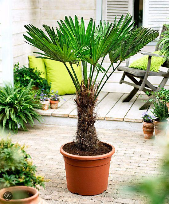 Strandtuin - Chinese waaierpalm (Trachycarpus fortunei) is een tropische verschijning in elke tuin. Als de palm in de tuin geplant wordt, kan ze kou tot -18°C, soms zelfs tot -25°C doorstaan.