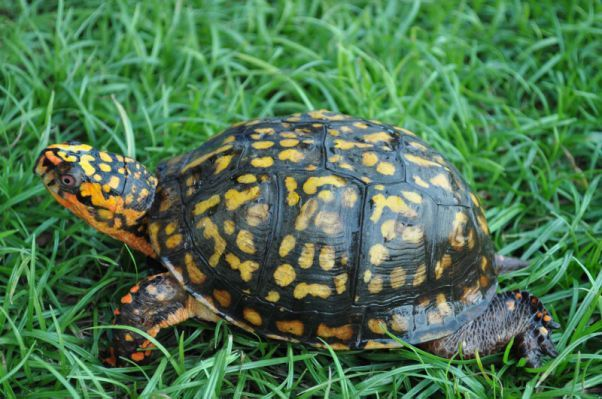 Hatchling Eastern Box Turtle 2.jpg.cf.jpg (602×399)