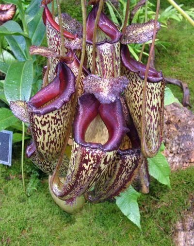 Resultado de imagem para flor nepenthes
