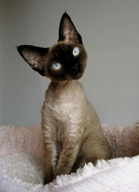 Devon Rex i want one!!!