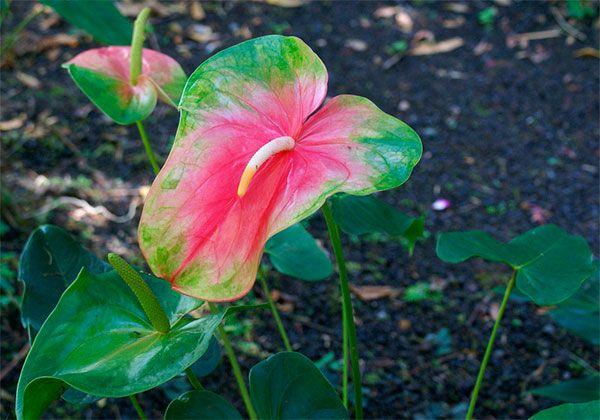 Se você tem esta planta em casa, não pode perder estas dicas para cuidar bem dela! #anturio #jardim #plantas #flores