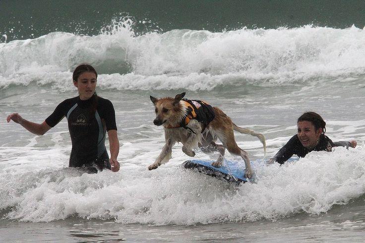 Un chien surfe lors de la compétition de surf canin, en septembre 2014. © Daniel Velez/ AFP