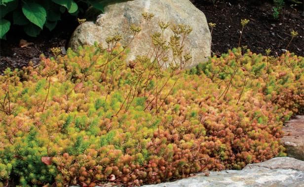 'Angelina' sedum. A chartreuse selection of the rugged S. rupestre, this bright and popular plant is hard to miss, even from a distance. When cold weather hits, its needlelike leaves turn orange and red but remain standing through winter. 'Angelina' sedum thrives in full sun and poor, well-drained soil. The stems root as they grow and even small bits will sprout.