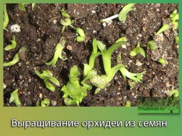 Выращивание орхидеи из семян
