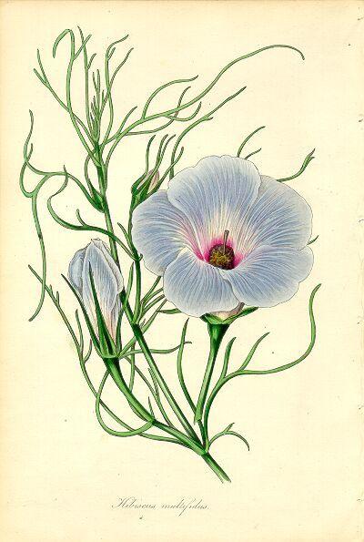 La flor de hibisco | Más Que Té