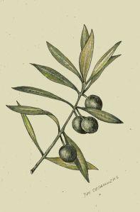 olive branch symbolism