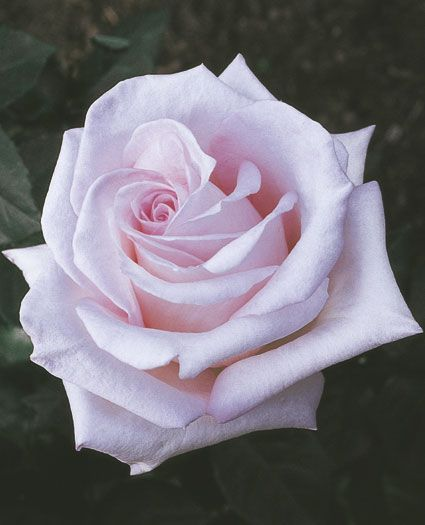 Bride's Dream Hybrid Tea. Not much smell, but that color....