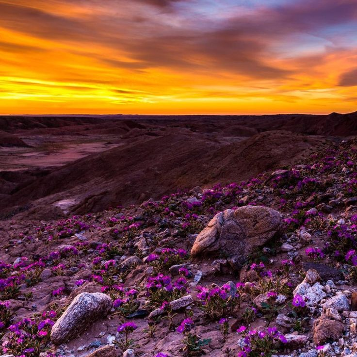 9 Magical Photos of California's Wildflower Super Bloom | Anza-Borrego Desert State Park, California | Credit: