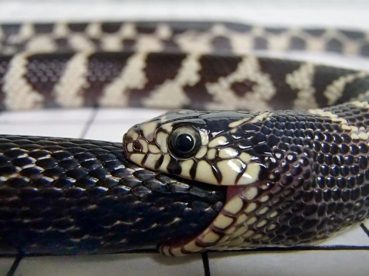 King snakes can kill and devour other snakes up to 20 percent larger in sizeincluding other constrictors  https://t.co/CiWifjUYeE #hairtr #hairtransplant #hairturkey #hairtransplantturkey #hairstyle #hairnews #hair #hairloss