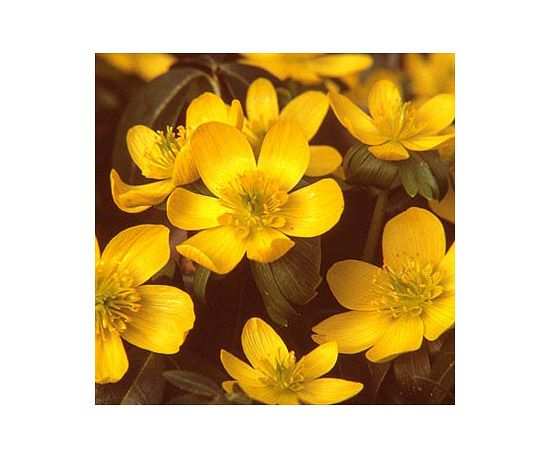Also called wolf's bane, this is the first spring bloom in many gardens. A low plant, it produces cup-shape flowers in a dreamy shade of golden yellow. Name: Eranthis hyemalis Growing Conditions: Part shade and well-drained soil Size: To 3 inches tall Zones: 4-8 Native to North America: No