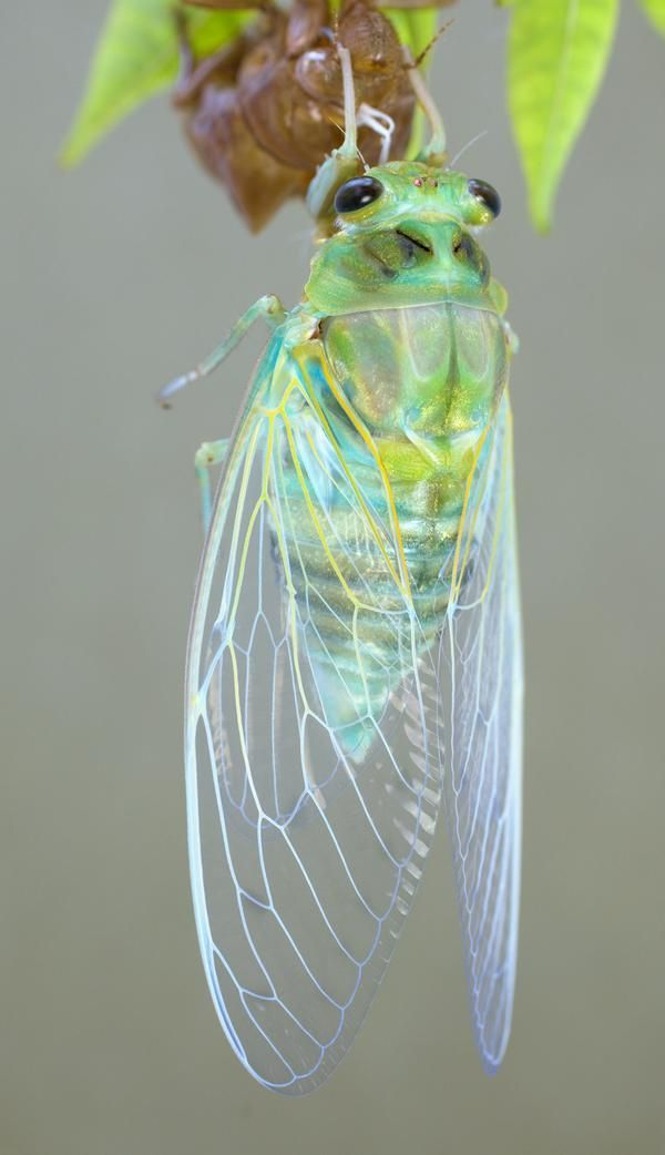 A pretty cicada, fresh out of its shell.