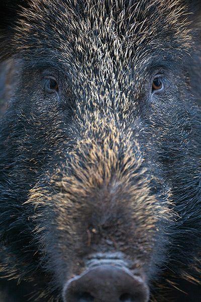 Credit: Peter Cairns/Wild Wonders of Europe Female wild boar (Sus scrofa), Alladale, Scotland. The wild boar has experienced a larg...
