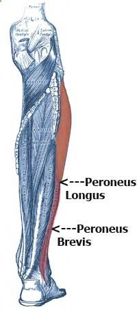 Best 25+ Peroneus longus ideas on Pinterest | Ankle joint ...