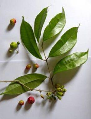 Cambuca Pitanga - fruit  Eugenia brevystila.jpg (293×383)