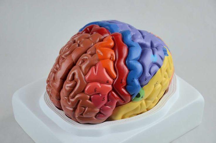 Pas cher Livraison gratuite cerveau fonction zone modèle de l'anatomie du modèle humain modèle anatomique du cerveau, Acheter  Médecine de qualité directement des fournisseurs de Chine: Matériel: TOP résine Produit Taille: 21*18*18 cm Poids du produit: 2.0 kg  Lancement de produit:&nbsp