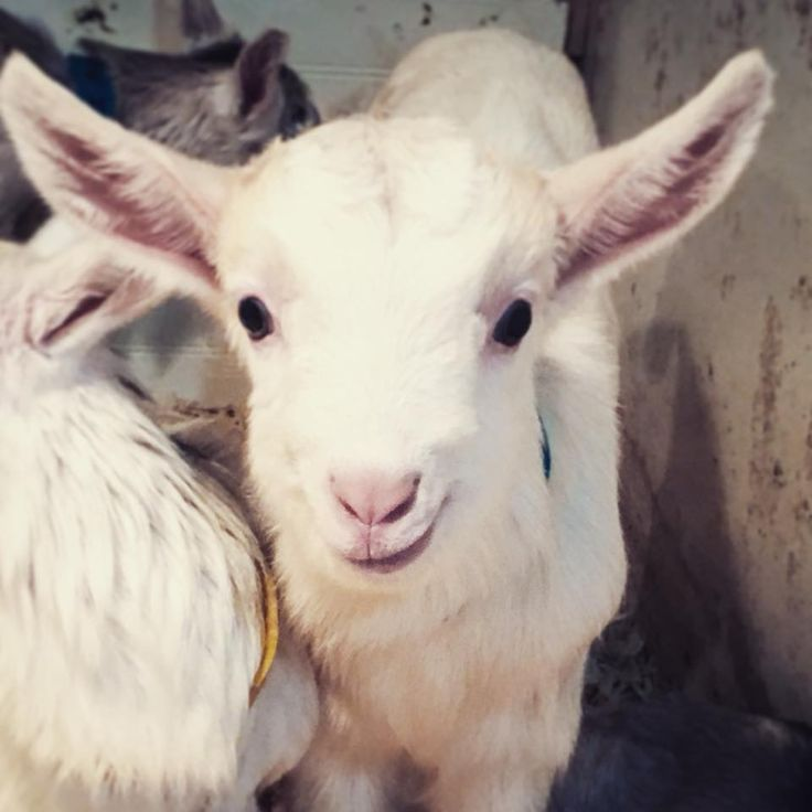 Send a cute, funny, baby goat picture.