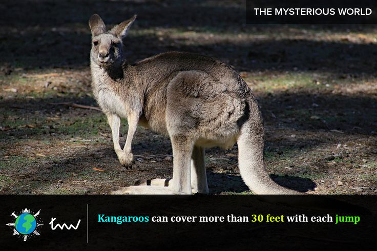#animals #kangaroo #facts