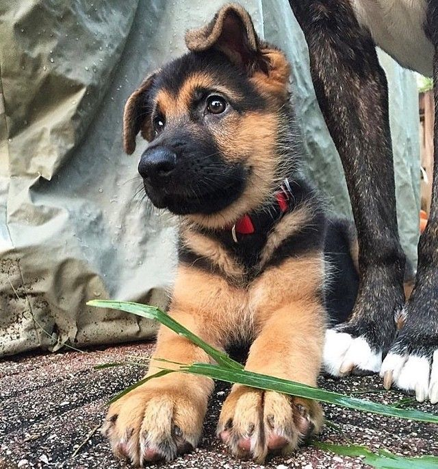 Cute German Shepard Puppy