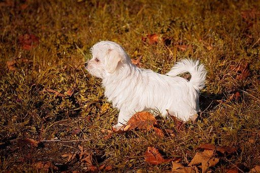 Amazing longest living dog breeds. Maltese dog breed has a personality and temperament that is affectionate, gentle, and without fear. #affectionatecatsbreeds
