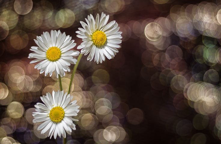 Three daisies - null