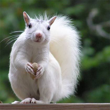In Brevard, NC, near Asheville, there's a unique population of white squirrels! There is a White Squirrel Festival every year to celebrate the pretty critters!