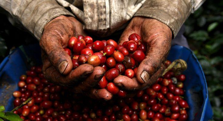 en las manos de los caficultores se hace la mejor taza de cafe