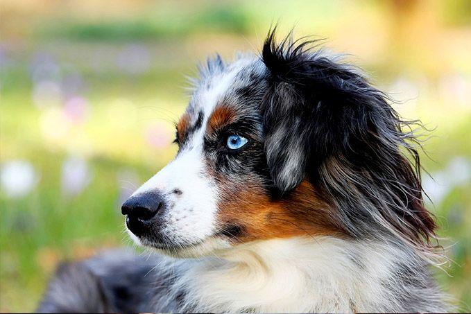 Hunderasse Australian Shepherd Eine Detaillierte