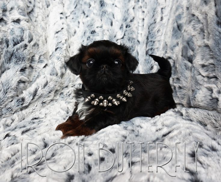 Shih Tzu Puppies For Sale In New York References