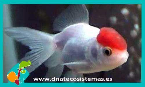 boina-roja-8-9cm-venta-de-peces-online-tienda-de-peces-online