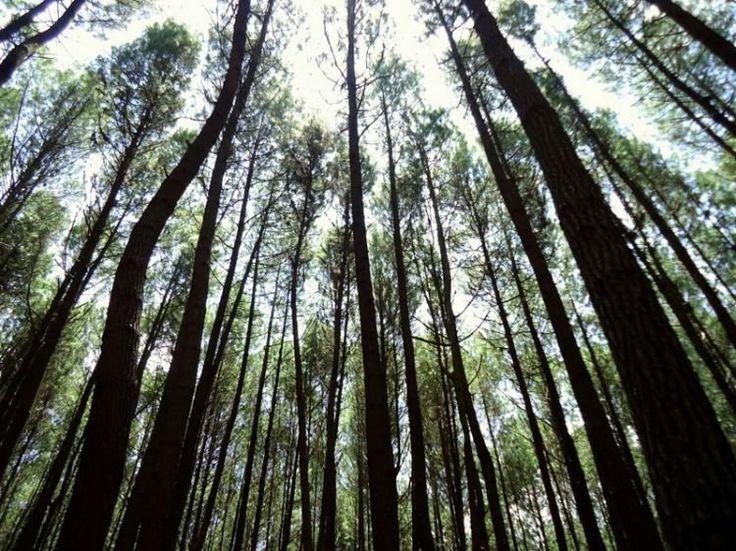 Hutan Pinus Mangunan .. sejukkk.. nice