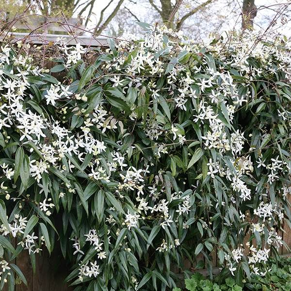Buy clematis (group 1) Clematis armandii 'Snowdrift': Delivery by Crocus