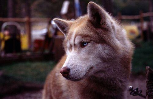 Eyes: Beautiful Animals 3, Color, Husky Animal, Photo, Beautiful Dogs, Eye
