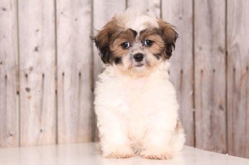 Zuchon puppy for sale in MOUNT VERNON, OH. ADN-45881 on PuppyFinder.com Gender: Female. Age: 10 Weeks Old
