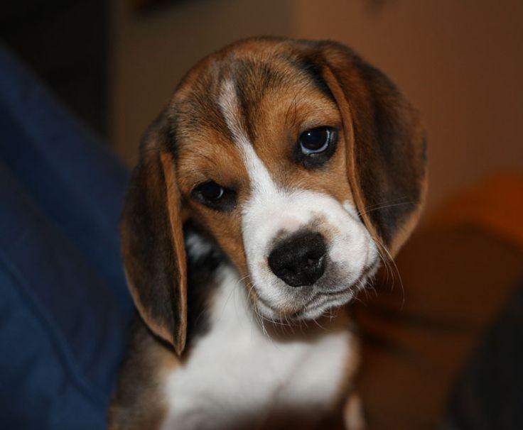 Beagles!!!Puppies Melted, Beagles Puppies, Beautiful Beagles, Shanna Puppies, Adorable Beagle Welness, Beagles Baby, Baby Beagles, Adorable Beagles, Adorable Animal