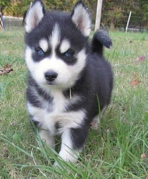 1,00€ · Regalo cachorros de husky siberiano · camada de alta calidad de los cachorros, estos cachorros se han planteado correctamente en un entorno familiar, alrededor de ruidos domésticos y los niños. tengo 1 chico, 1 chica en camada, han sido desparasitados hasta la fecha sido al veterinario para la vacunación de control y 1 de salud. · Mascotas y animales > Mascotas > Perros > Perros de raza > Perros Husky