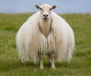 The icelandic sheep.