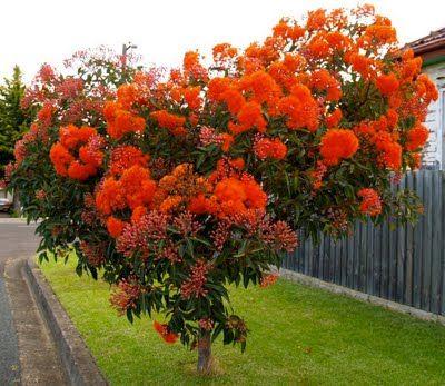 Corymbia ficifolia dwarf cultivars (red flowering gum trees)