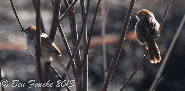 Levaillant's Cisticola, Vleitinktinkie, (Cisticola tinniens)