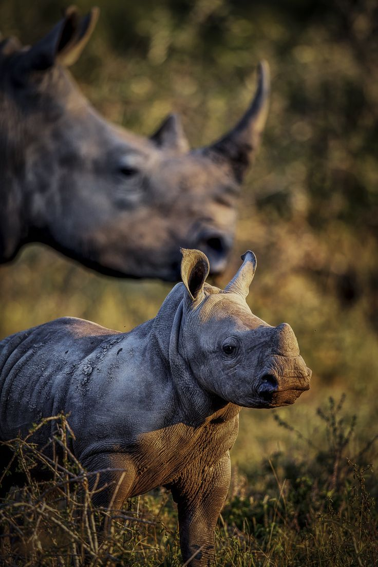 Rhino Mother's Watchful Eye
