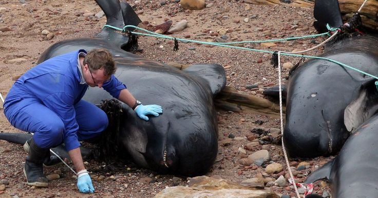 Pod of whales that died on UK beach may have veered off course due to toxic metal poisoning        Tests have revealed that toxic metals found in the brains of the 21 long-finned pilot whales could have 'scrambled' their navigation system