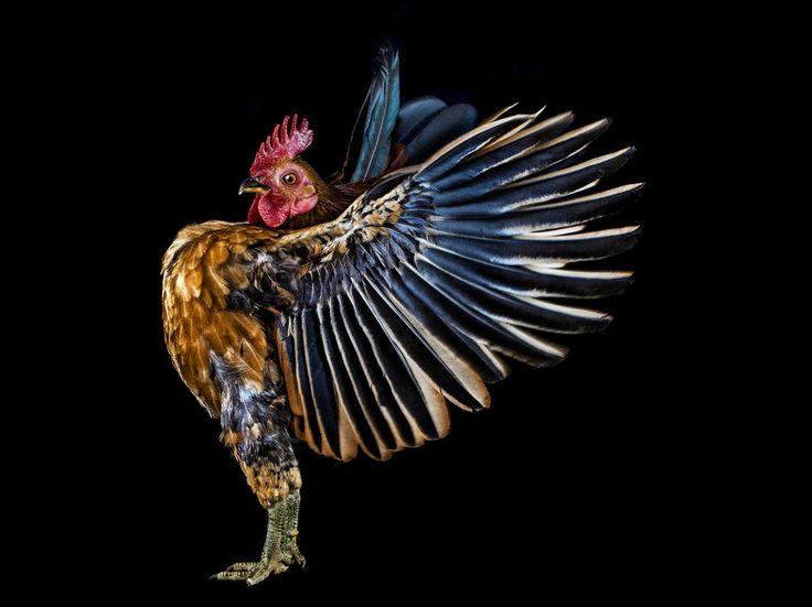 Charismatic chickens strut their stuff – CNN Photos - CNN.com Blogs