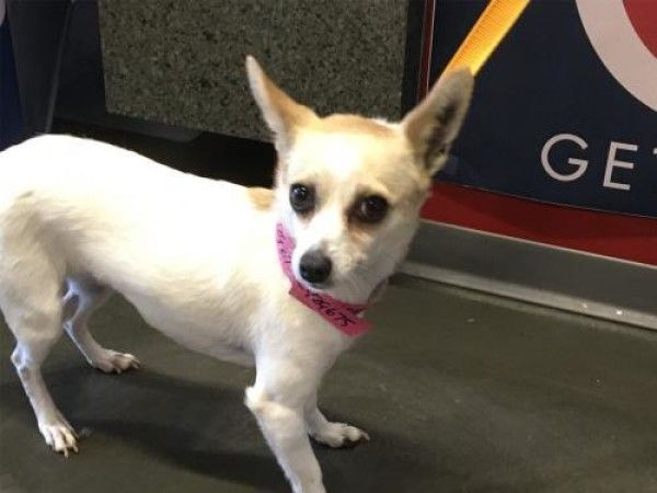 Chihuahua Dog For Adoption In Pomona California I1317818 In