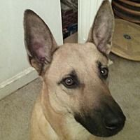 Sterling, Virginia - German Shepherd Dog. Meet Lynk 5338, a for adoption. https://www.adoptapet.com/pet/20601459-sterling-virginia-german-shepherd-dog