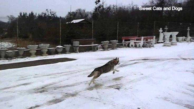 Siberian Husky Snow Adventure Adventure in the Snow :)) First Winter !