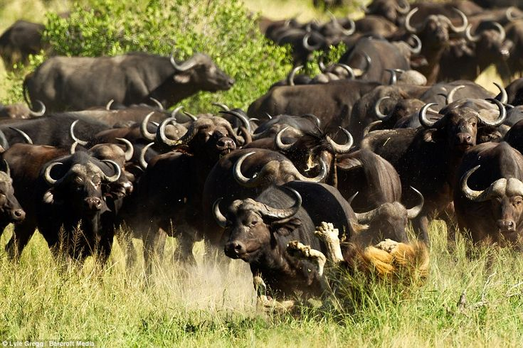The stampede was captured on camera by game ranger Lyle Gregg, who had spotted the animal ...