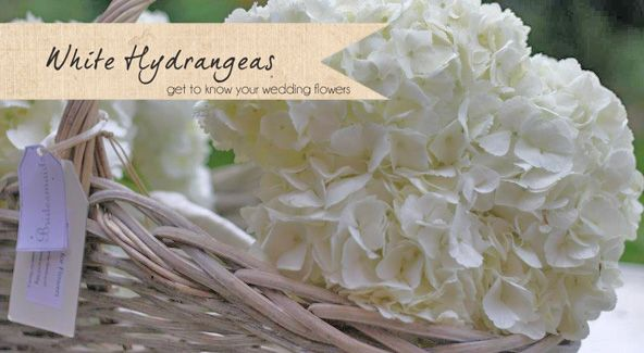 white hydrangeas wedding