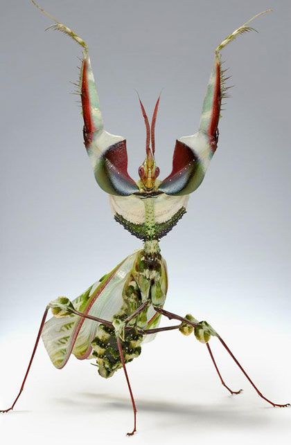 incrivel: Idolomanti Diabolica, Flower Mantis, Bugs, Prayingmantis, Devil Flower, Insects, Natural, Praying Mantis, Animal