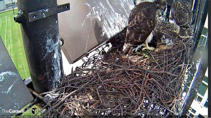 CornellHawks 6/1, 11:26 All 3 G's still in nest!